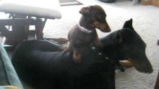 vicious doberman getting beatin up by weenie dog