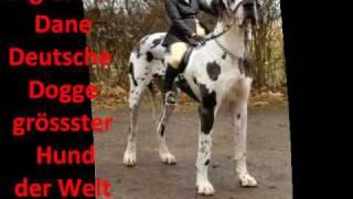 grösster Hund der Welt The Tallest Dog in the World