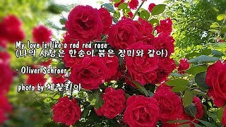 My love is like a red red rose (나의 사랑은 한송이 붉은 장미와 같아)/Oliver Schroer & photo by 체칠리아