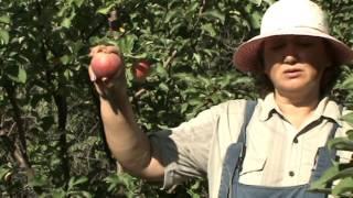 видео Яблоня Боровинка: описание сорта, фото