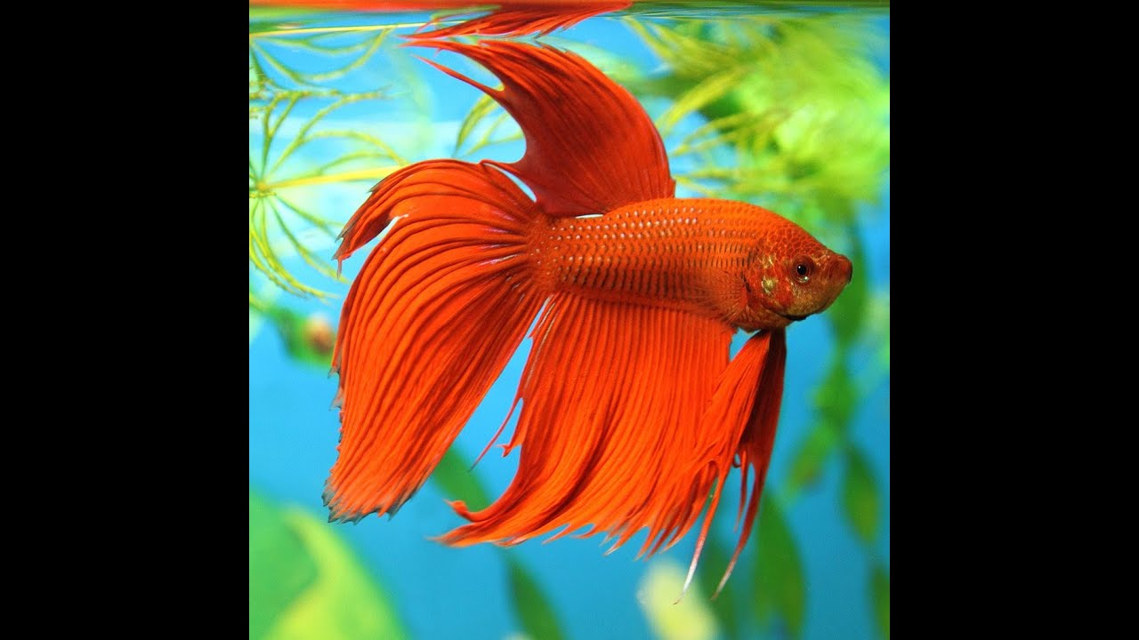 Beautiful betta fish youtube for Prettiest betta fish