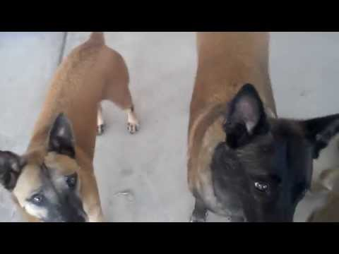 Belgian Malinois dogs show how smart a Belgian Malinois is for owner