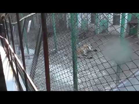 Are Harbin Tigers Killed for Body Parts?