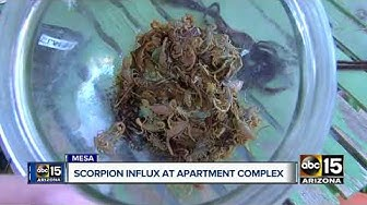 Woman claims scorpion influx at Mesa apartment complex