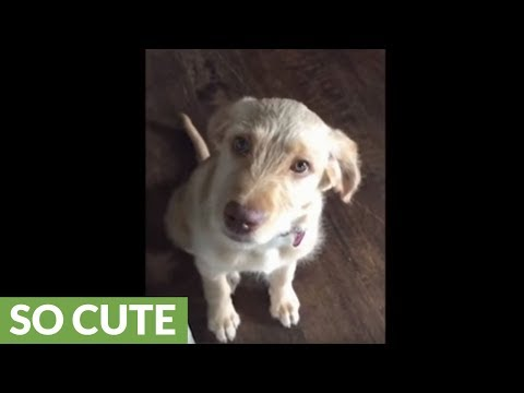 Puppy does perfect guilty eyes and wagging tail for forgiveness