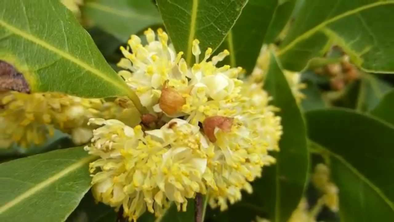 Bay Leaves Laurus Yellow Flowers Larvidur Larvidarlauf