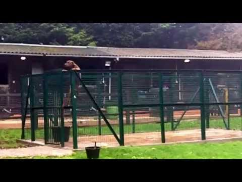 Staffordshire Bull Terrier Dray jumps out of 8ft isolation run.