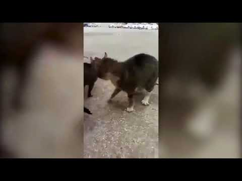 A Man Stopped Cat Fight by Barking Cats