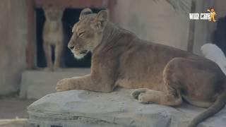 Emirates park zoo | wild cats