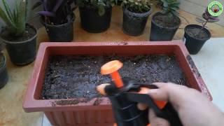 طريقة زراعة الكزبرة في المنزل (من الكزبرة العادية الموجودة في المنزل)