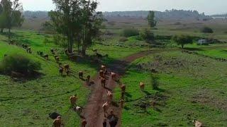 Israel: Eine Drohne zum Rinder hüten