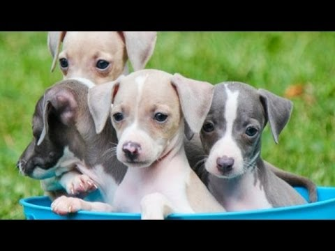 60 Seconds Of Cute Italian Greyhound Puppies! - YouTube