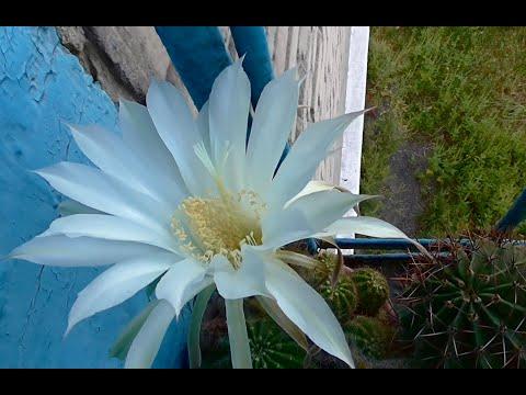 Сколько цветет кактус. Цветок кактуса в полнолуние