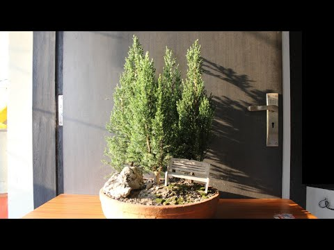 Making a blue point juniper bonsai forest (part 2)