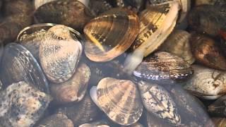甲子園浜でも潮の引いた日はアサリが採れます。 水温が上がってくると毒...