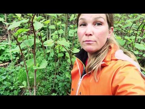 Farlig växt -har du eller dina grannar den här i sin trädgård ? Varning parkslide / fattigmansbambu