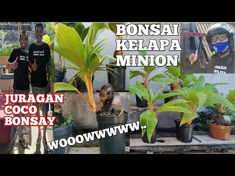 Bonsai Kelapa Minion Bikin Ngiler Youtube