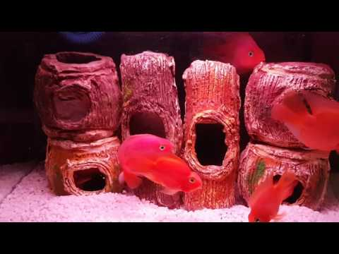 Red Parrot Fish Tank