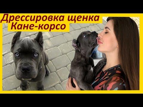 Начальная дрессировка щенка Кане Корсо в 3 месяца
