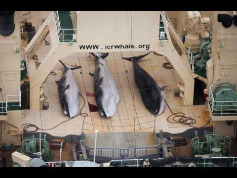 Eathcast SOS - Japan Ruthlessly Slaughters 333 Whales