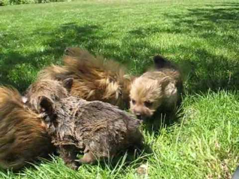 Brigette's puppies 5.5 weeks old