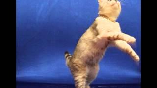 Шотландские коты питомника Голден Лайн