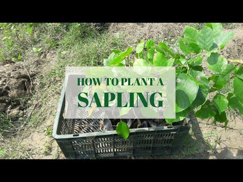 How to plant a sapling