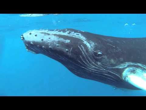 DomRep 2016 - Buckelwale an den Silverbanks