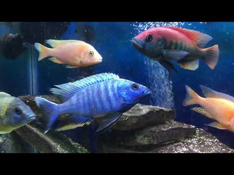 African Cichlid ALL MALE show tank 75 gallon.