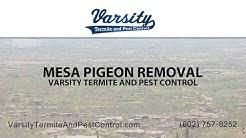 Mesa Pigeon Removal | Varsity Termite & Pest Control