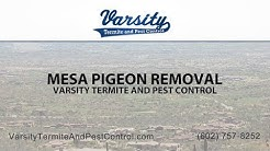 Mesa Pigeon Removal | Varsity Termite & Pest Control