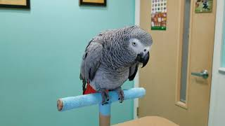 MOJO THE 17 Y/O AFRICAN GREY IS AT THE VET. SHE IN A LITTLE TROUBLE 😢