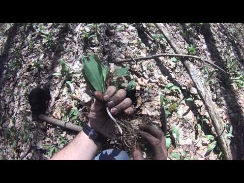 Ramp digging video in the moutains of West Virginia: Allium tricoccum