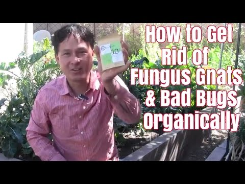 How to Get Rid of Fungus Gnats & Bad Bugs Organically