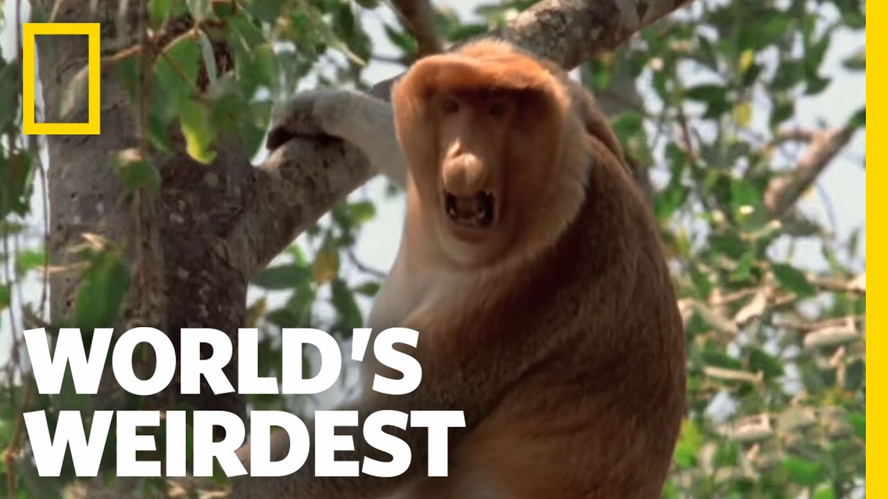 Proboscis Monkeys Worlds Weirdest YouTube - Monkey knows how to operate vending machine