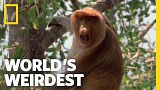 Proboscis Monkeys | World's Weirdest