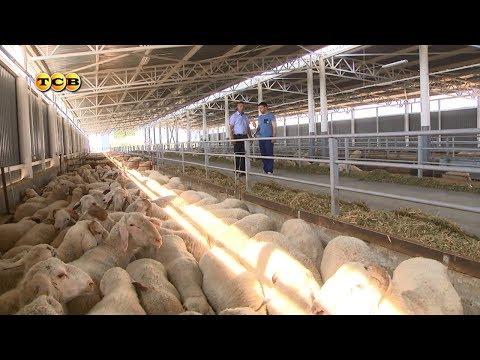 Овцеводство. 6 соток