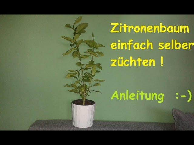 Fantastisch Zitronenbaum Selber Ziehen   Exotische Pflanzen Züchten / Anleitung  Zitronenpflanze Aus Kern   DIY   Clipzui.com