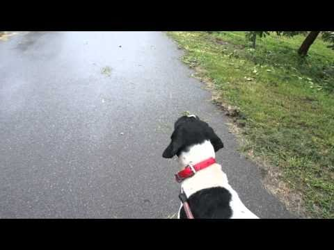 English Pointer Sasuke.HD