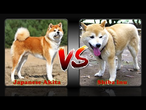 Difference Between Japanese Akita And Shiba Inu