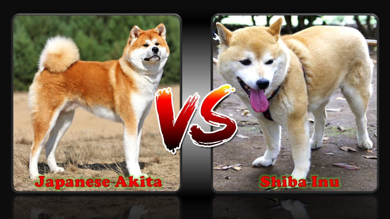 Difference Between Japanese Akita And Shiba Inu Youtube