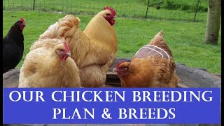 Our Smallholding: Our Chicken Breeding Plan & Breeds