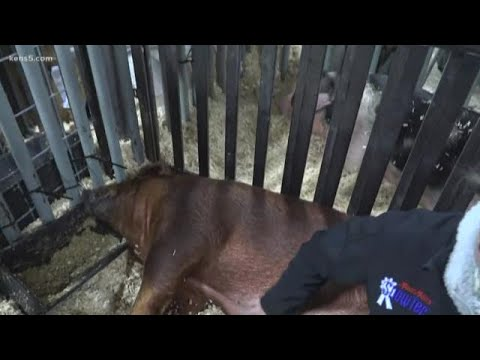 Stock Show And Rodeo Kicks Off Thursday