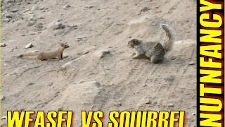 Weasel vs Ground Squirrel: Nature's Combat