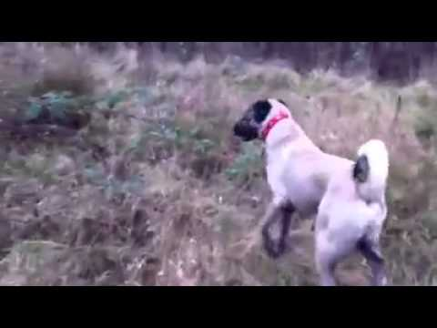 Kangal Dogs -