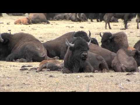 Possible Bison Herd Reduction at the Grand Canyon