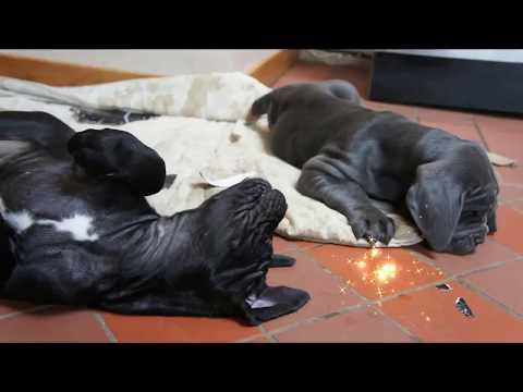 Funny Neapolitan Mastiff Puppies Wrestling