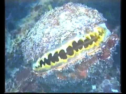 Bivalve mollusc