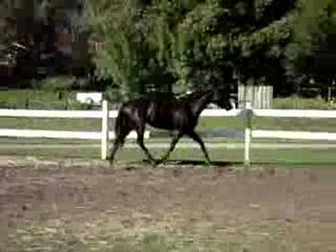 AQHA Tellin Party Tales Free Lunging