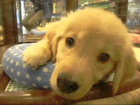 激可愛いゴールデンレトリバーの子犬!The little dog of a lovely golden retriever!